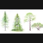 Illustrations couleurs de silhouettes de conifères