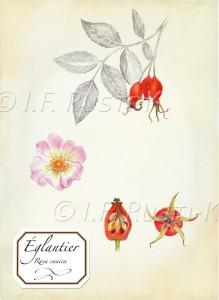 rosa canica