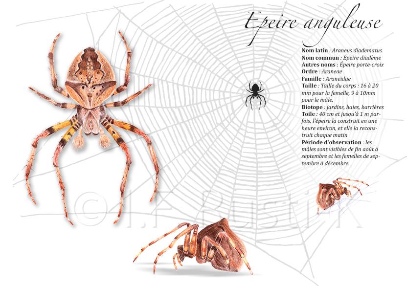 araignée, dessin , épeire anguleuse