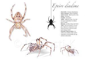 araignée, dessin , épeire diadème