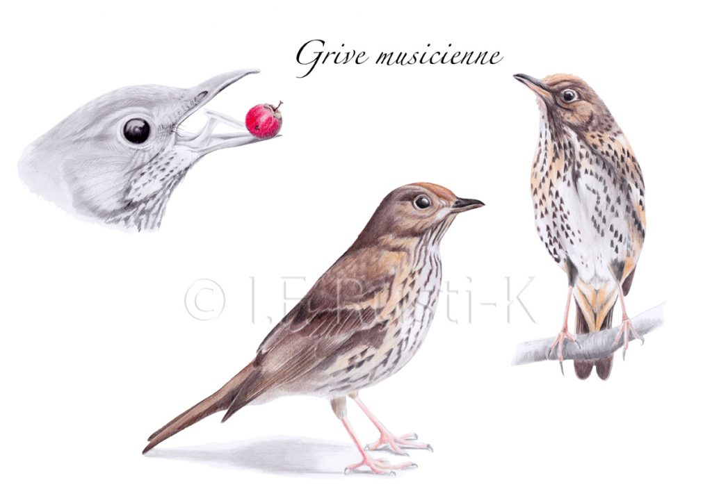 dessin oiseau, illustration
