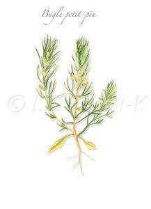 plante messicole; Lamaciées; Bugle jaune; Ive; Ivette; Bugle des champs