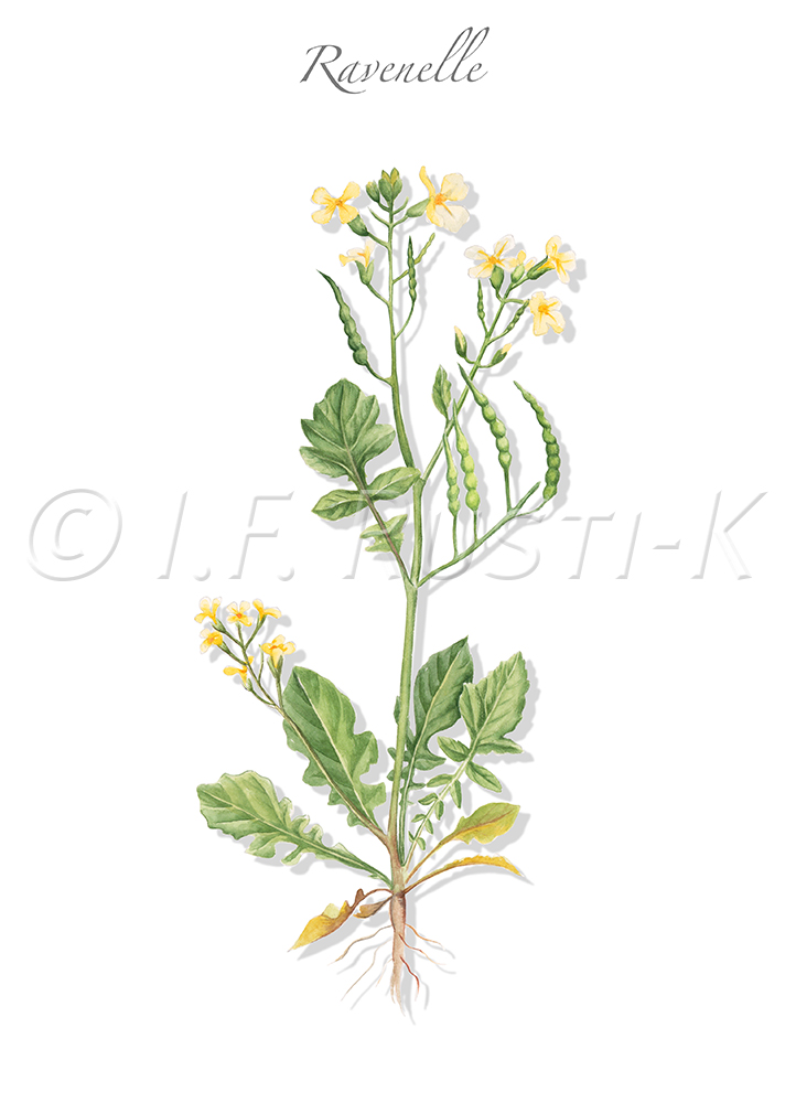 plante messicole; brassicacées; ravenelle maritime; radis sauvage