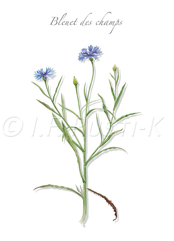 asteracées; audifoin; Barbeau; blavelle; Casse-lunettes; centaurée-bleuet; Fleur de Zacharie; Blaverolle; chevalot; plante messicole