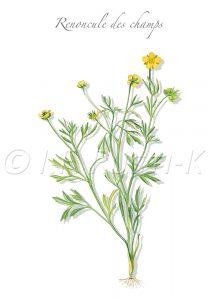 """plante messicole; renonculacées; Pied-de-poule; Chausse-trappe des blés; Bassinete des champs; bouton d""""or des blés; grenouillette; fleur de l'impatience; fleur de beurre; goblet du diable"""