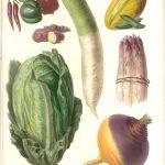 illustration legumes