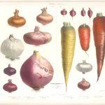 illustration d'oignons, de radis et de carottes