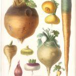 legumes illustration