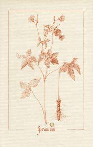 dessin à la sanguine d'un géranium vivace