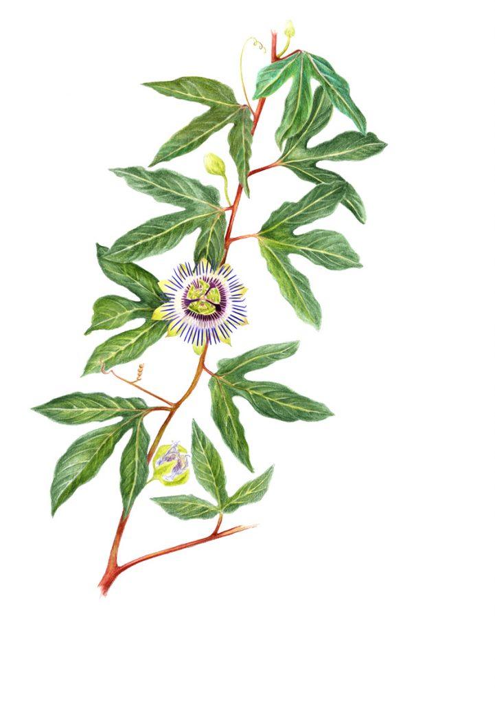 aquarelle, branche de passiflore avec une fleur