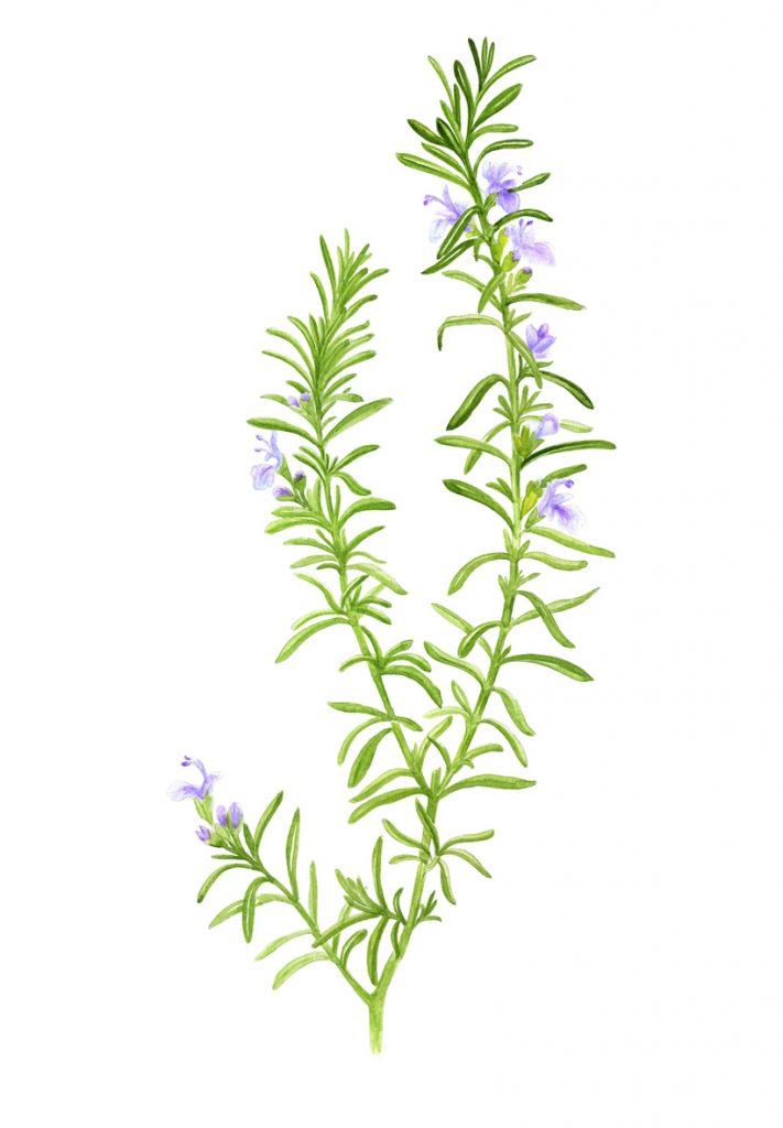 illustration couleur représentant une branche de romarin fleurie