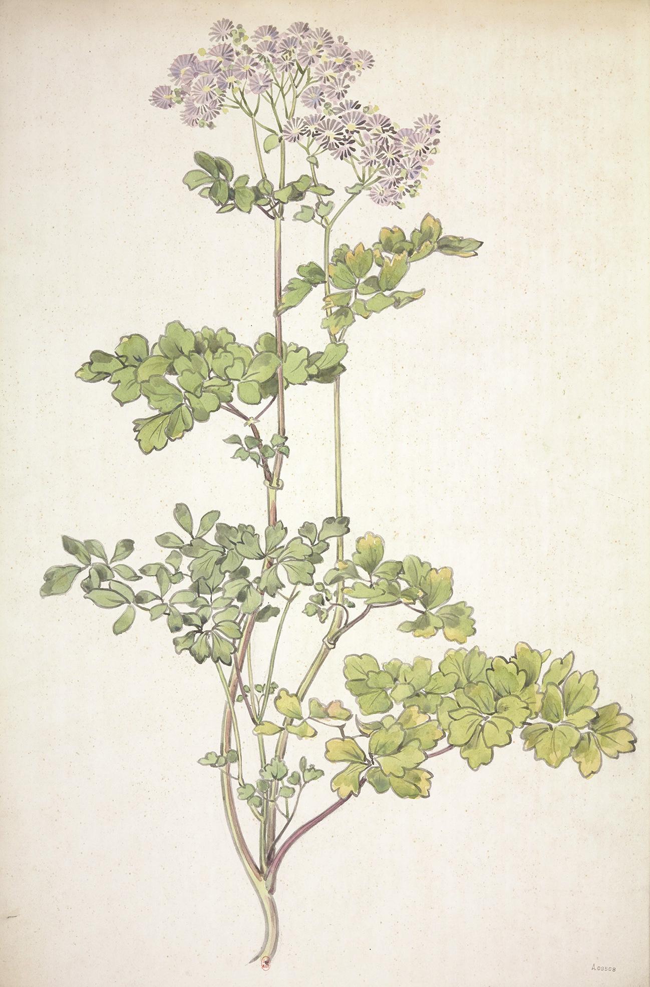 dessin de chrysanthèmes violets à l'aquarelle