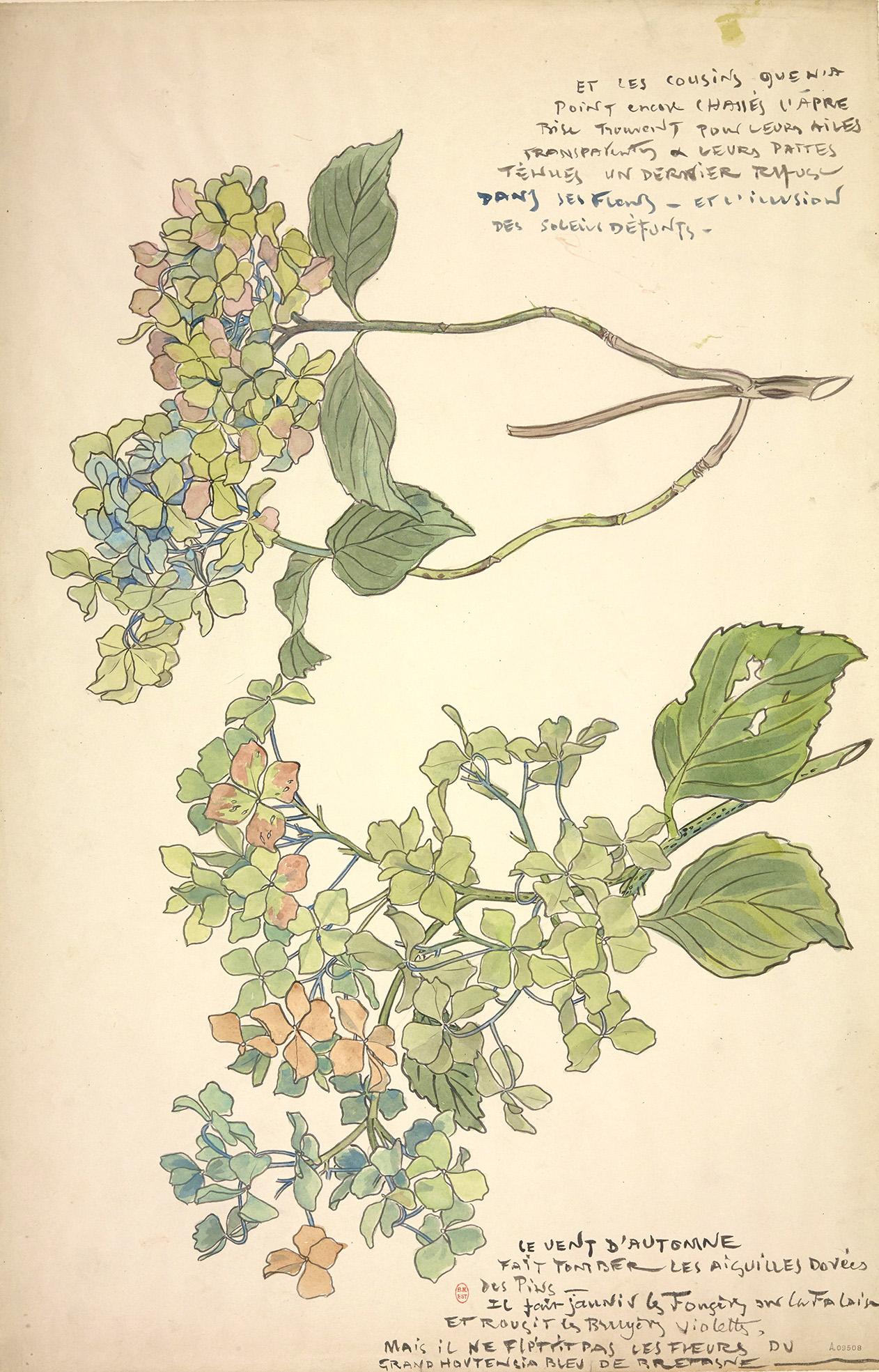 aquarelle, hortensia