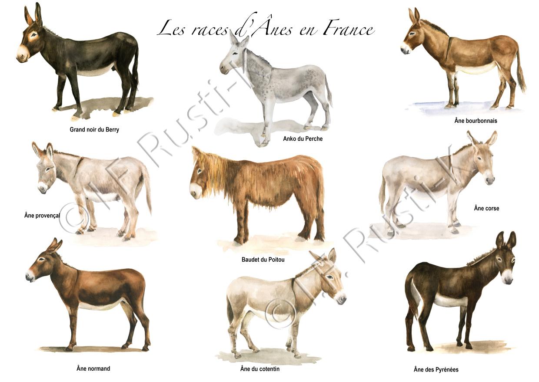 planche sur les races d'ânes en France pour Rustica- ©IF/rustica