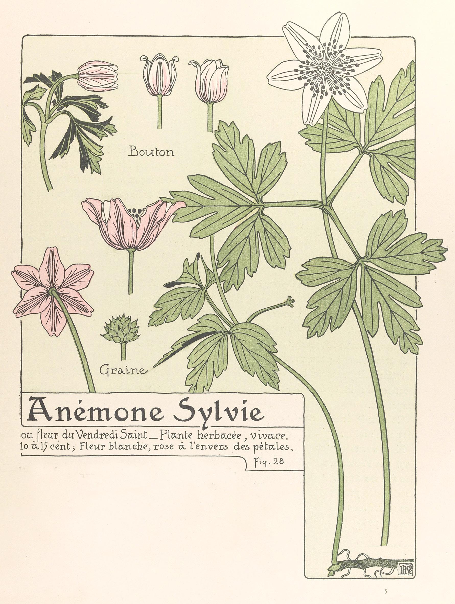 anemone Sylvie -  Etude de la plante / M. P. Verneuil , Gallica