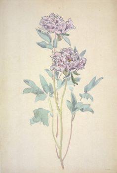 dessin aquarelle de fleurs de pivoines roses, violet