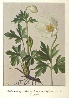 anemone -planche